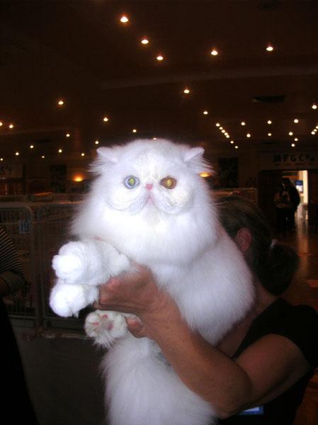 Adult Persian Cat 106